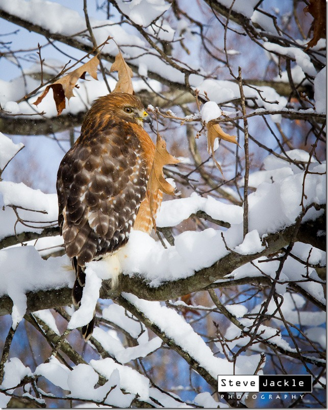 Red Tail Hawk image by Steve Jackle Photography