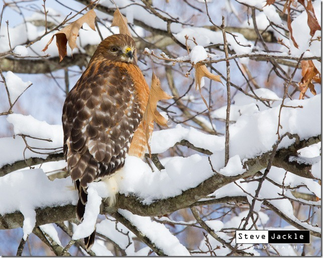Red Tail Hawk Picture.