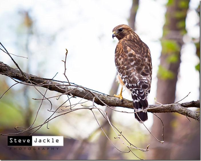 HawkWatching-4