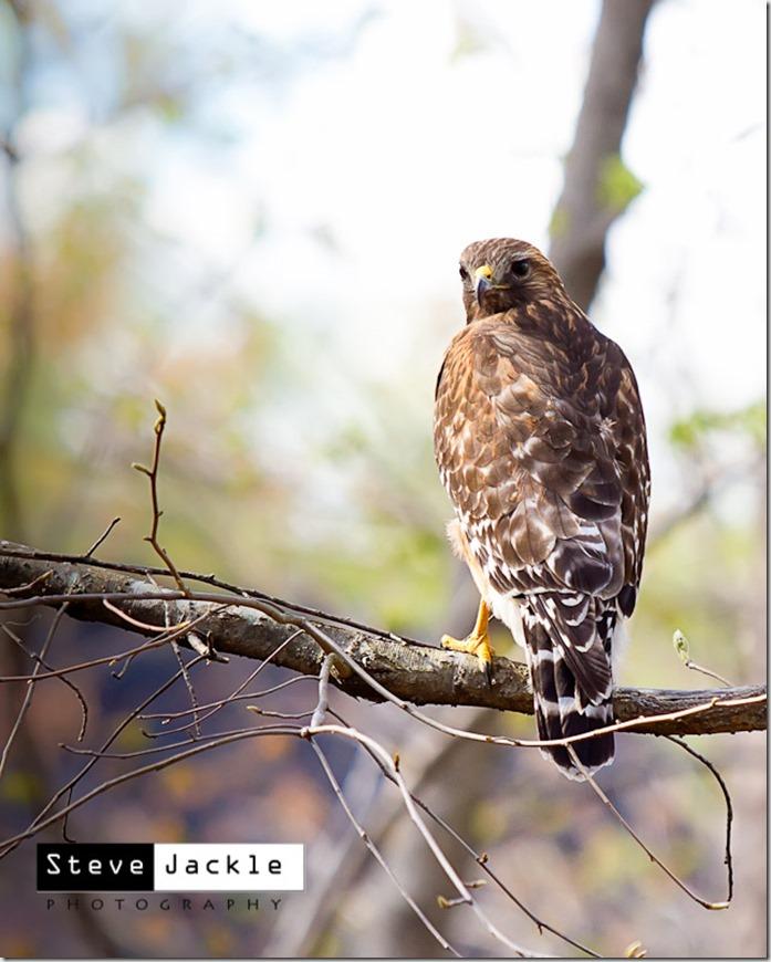 HawkWatching-5